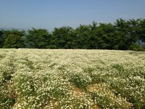 健康長寿大作戦 カモミール畑