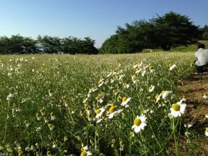 池田町のカモミール畑