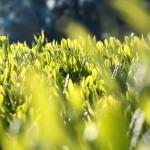 自然栽培(無農薬、無肥料)のホンモノの日本茶を飲もう!
